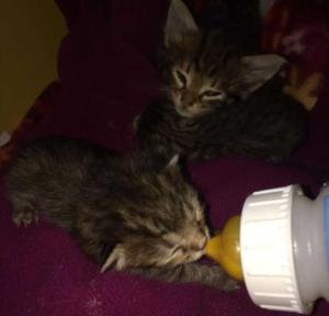 Du lait pour nourrir les petits chatons