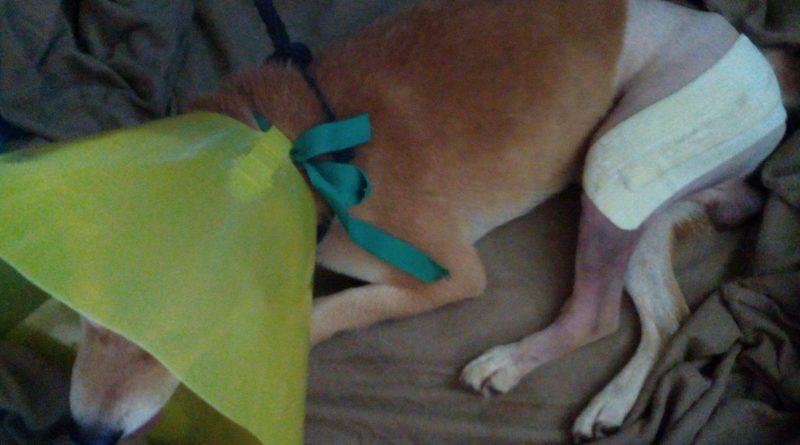 aider un chien blessé avec la cagnotte pour Koko