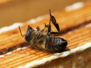 Les abeilles sont les victimes collatérales des épandages de pesticides
