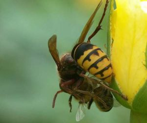 Les frelons asiatiques font des ravages parmi les essaims d'abeilles